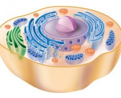 Human animal cell